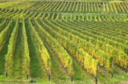 Wine Growing Print by Heiko Koehrer-Wagner