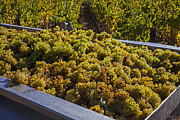 Grape Photo Metal Prints - Wine harvest Metal Print by Garry Gay