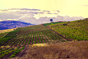 Vineyard Landscape Posters - Wine Vineyard in Sicily Poster by Madeline Ellis