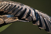Animal Abstract Photos - Wing Stretch by Karol  Livote