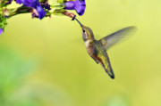 Rufous Hummingbird Posters - Winged Beauty a Hummingbird Poster by Laura Mountainspring