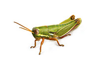 Featured Art - Wingless Grasshopper South Africa by Piotr Naskrecki