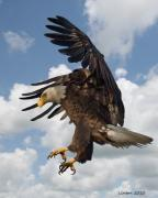 American Bald Eagle Prints - Wings Beak And Talons Print by Larry Linton