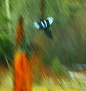 Magpies Photos - Wings by Julie Lueders