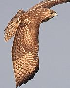 Wings Of A Red Tailed Hawk Print by Wingsdomain Art and Photography