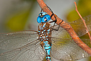 Blue Darner Dragonfly Posters - Wings Spread Poster by Robert Salinas