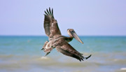 Pelican Metal Prints - Wingspan Metal Print by Evelina Kremsdorf