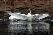 Trumpeter Photos - Wingspan of a Trumpeter Swan by Sharon  Talson