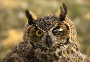 Great Horned Owl Framed Prints - Wink Framed Print by Mike  Dawson