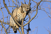 Bobcat Photos - Winking bobcat by Cristina Lichti