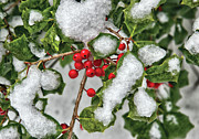 Holly Posters - Winter - Ice coated Holly Poster by Mike Savad