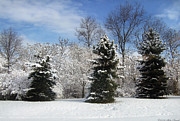 Pine Tree Photos - Winter - Landscape - The three tenors by Mike Savad