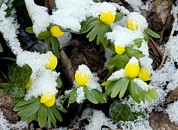 Green Foliage Prints - Winter Aconite (eranthis Hyemalis) Print by Bob Gibbons
