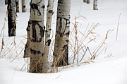 Snow Drifts Photos - Winter Aspens II by Brian Ewing