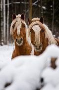 Horse Photography Prints - Winter Beauties Print by Michael Cummings