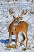 Whitetail Deer Framed Prints - Winter Beauty Framed Print by Emily Stauring