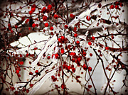Berries Red  Ice Storm Posters - Winter Berries Poster by Brenda Conrad