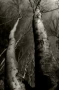 Bare Trees Photos - Winter Birch by Kim Zier