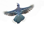 Bluejay Metal Prints - Winter Blue 2 Metal Print by Marty Maynard
