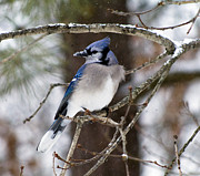 Diane Giurco - Winter Blue Jay