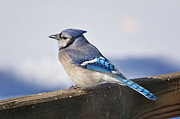 Wild Life Prints - Winter Blue Jay Print by Pamela Baker