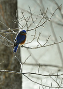 Sialia Sialis Metal Prints - Winter Bluebird Metal Print by Rebecca Sherman