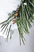 Fir Trees Posters - Winter branches Poster by Elena Elisseeva