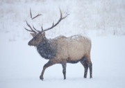 Elk Antlers Prints - Winter Bull Print by Mike  Dawson