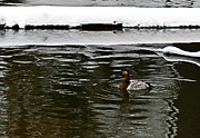 High Virginia Images Prints - Winter Canvasback Print by Randy Bodkins