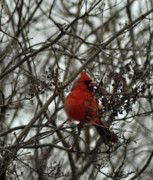 Male Cardinals Posters - Winter Cardinal 1 Poster by Maria Suhr
