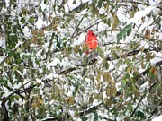 Cardinals. Wildlife. Nature. Photography Photos - Winter Cardinal by Jennifer Wosmansky