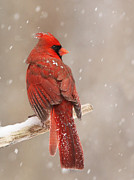 Winter Storm Art - Winter Cardinal  by Mircea Costina Photography