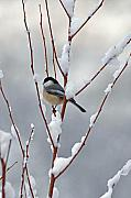 Berry Photo Posters - Winter Chickadee Poster by Diane E Berry