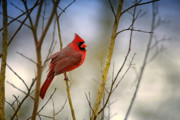 Male Northern Cardinal Framed Prints - Winter Day Cardinal Framed Print by Bonnie Barry