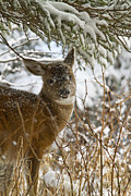 Black-tail Posters - Winter Dining for a Black-Tailed Deer Poster by Tim Grams