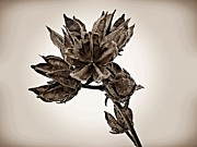 Rose Of Sharon Metal Prints - Winter Dormant Rose of Sharon - S Metal Print by David Dehner
