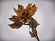 David Dehner Prints - Winter Dormant Rose of Sharon Print by David Dehner