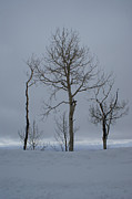 Winter Trees Metal Prints - Winter Elegance Too Metal Print by Ernie Echols