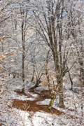 Wintry Photo Posters - Winter forest Poster by Gabriela Insuratelu