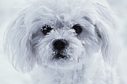 Maltese Dog Posters - Winter Fun Poster by Lisa  DiFruscio