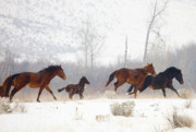 Wild Mustangs Posters - Winter Gallop Poster by Mike  Dawson