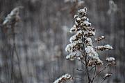 Mnkreations Metal Prints - Winter Goldenrod Metal Print by Michelle Kelnhofer