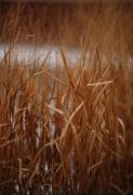 Linda Knorr Shafer Framed Prints - Winter Grass - 1 Framed Print by Linda Knorr Shafer