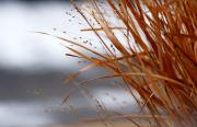 Linda Knorr Shafer Framed Prints - Winter Grass - 2 Framed Print by Linda Knorr Shafer