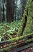 Fences Prints - Winter Greenery In The Redwood Forest Print by Rich Reid