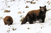 Black Bear Cubs Prints - Winter Guide Print by Adam Jewell