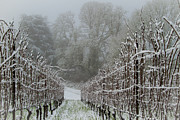 Pinot Noir Photos - Winter in the vineyard by Jean Noren