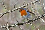 Winter Trees Photos - Winter Irish Robin by Pierre Leclerc