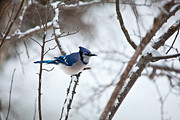 Bird In Snow Posters - Winter Jay Poster by Karol  Livote