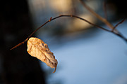 Sue Oconnor Metal Prints - Winter Leaf Metal Print by Sue OConnor